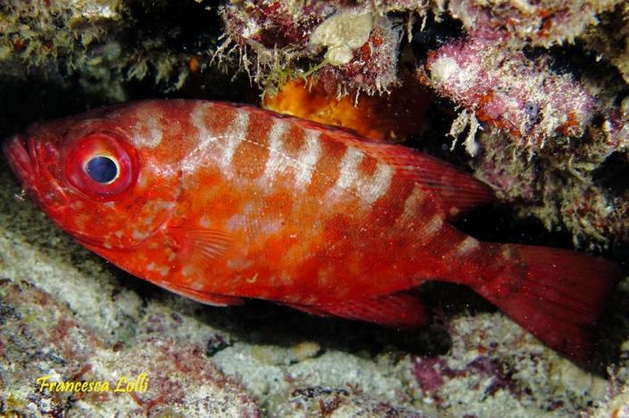 Pesci Capoverdiani