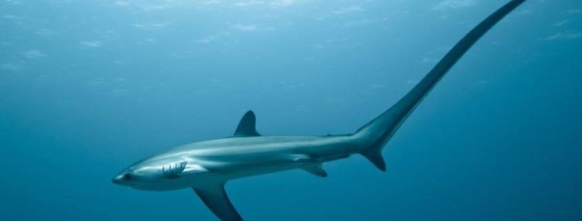 squalo volpe